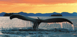 Cool off with a Grand Alaskan Cruise  & Tour with YMT Vacations